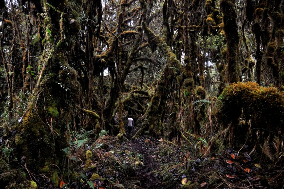 Click to enlarge. The twisted forest near the top of Cerro Candelaria. The forest near the top of Cerro Mayordomo is similar. Photo: Lou Jost/EcoMinga.