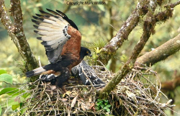 Black-and-chestnut Eagle (Spizaetus isidori) adult and juvenile in our Rio Zunac nest. Photo copyright Mark Wilson.
