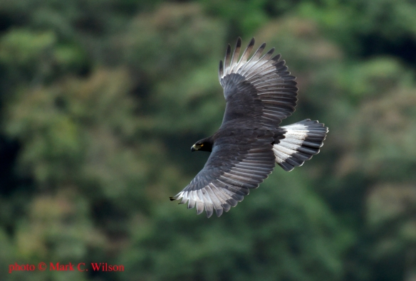 A Black-and-Chestnut Eagle flies past its nest in a cloud forest in eastern Ecuador. Photo credit: © Mark C. Wilson