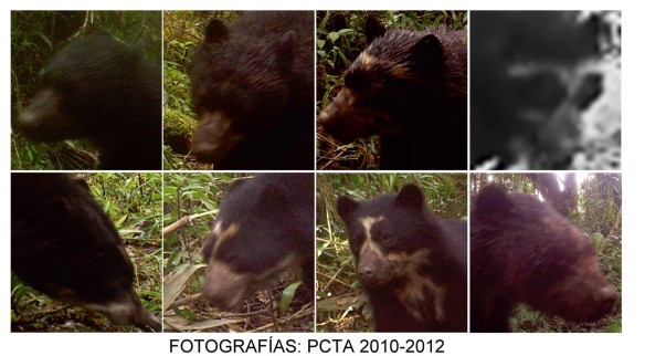 Eight different individual Spectacled Bears who all use our Cerro Candelaria Reserve. Credit:  PCTA, Gorki Rios, compiled by Juan Pablo Reyes.