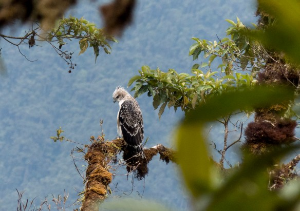 Our eaglet learning to hunt. Photo Juan Pablo Reyes/EcoMinga.