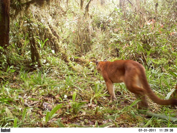 Puma (Felis concolor) in the corridor. Photo: PCTA/Juan Pablo Reyes/EcoMinga