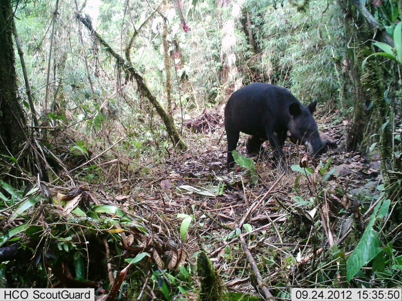 Mountain Tapir in the corridor. Photo: PCTA/Juan Pablo Reyes/EcoMinga.