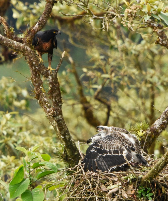 Black-and-chestnut eaglet mantling prey item at the nest. It does not want to share! Photo: Mark Wilson.