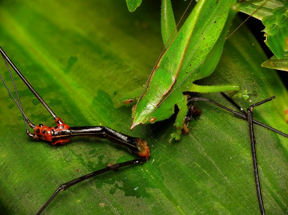 Note the complex foot pads of the killer katydid. Click to enlarge. Photo: Lou Jost/EcoMinga.