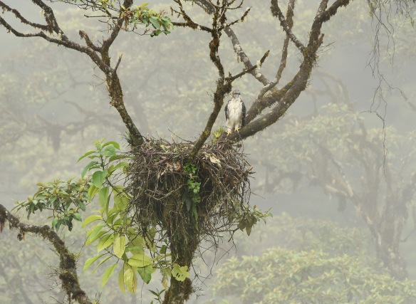Dreamed Forest- The young Black-and-chestnut Eagle watches life in the cloud forest. Photo: Mark Wilson.