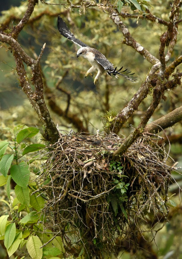 In memory of the  Black-and-chestnut Eagle chick that lived a beautiful but far too short life in its cloud forest nest. Photo: Mark Wilson.
