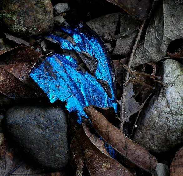 I found this glowing wing of a Morpho butterfly on the entrance trail. Probably it was eaten by a jacamar , a bird with a long tweezer-like beak. These catch butterflies and beat their bodies against a stick until the wings come off. Lou Jost/EcoMinga.