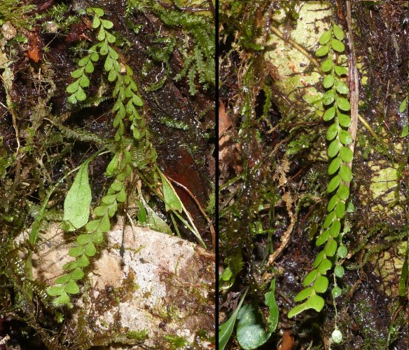 Left, a climbing fern. Right, a Neooreophilus orchid. Both plants were on the same tree. The resemblance is striking and the orchid may be mimicking the much more common fern.