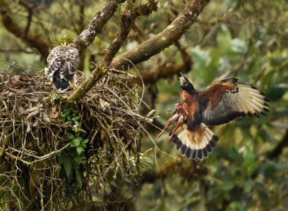 An adult Black-and-chestnut Eagle delivers a guan to the waiting chick. Photo: Mark Wilson.