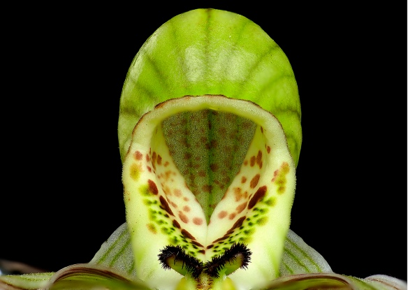 "Top view of the ""slipper"" or lip of the ladyslipper orchid Phragmipedium pearcei. Lou Jost/EcoMinga."