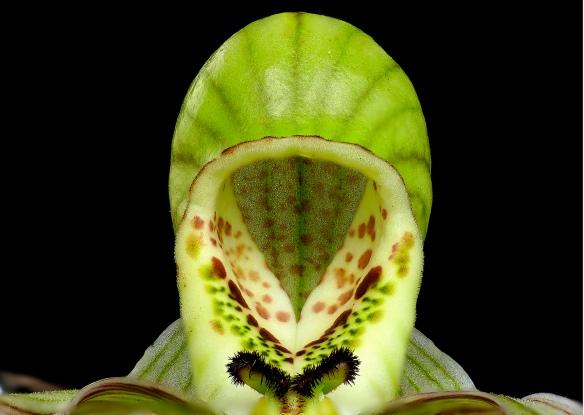 "Top view of the ""slipper"" or lip of the ladyslipper orchid Phragmipedium pearcei. Lou Jost/EcoMinga."