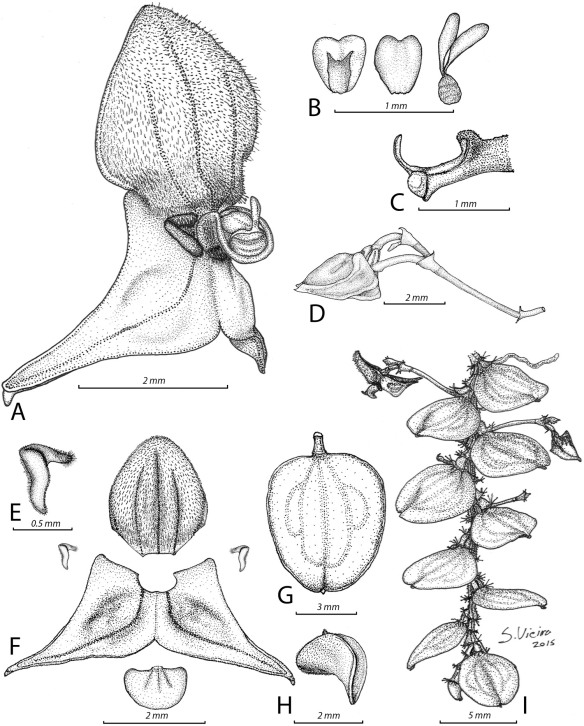Sebastian Vieira's beautiful illustration of our new species. From our paper: Vieira, S., and Jost, L. (2015) A colorful new species of Neooreophilus (Orchidaceae: Pleurothallidinae) from the eastern Andes of Colombia and Ecuador. Lankesteriana 15(3): 213–217.