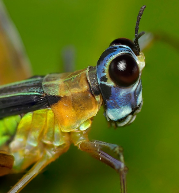 Blue-headed grasshoppers were common on the trail. Lou Jost/EcoMinga.