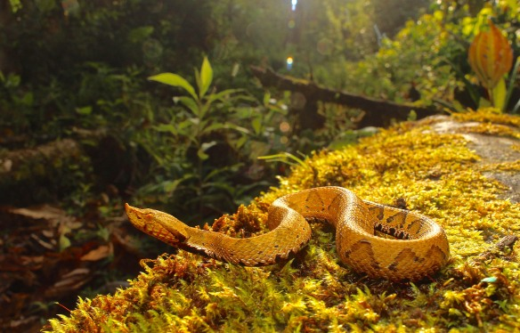 The pit viper Bothrocophias micropthalmus, an uncommon snake restricted to the Amazonian foothills of the eastern Andes. This one was found near the Rio Anzu. Photo: Alex Bentley.