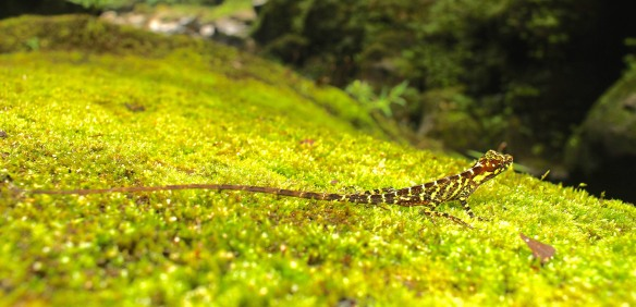 Lizard near Rio Anzu. Photo: Alex Bentley.