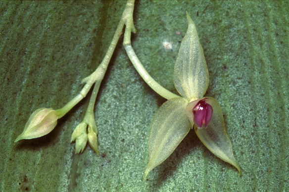 The only known plant of Lepanthes elytrifera. Photo: Lou Jost/EcoMinga.