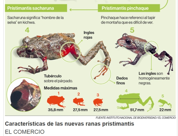 The national newspaper El Comercio made a nice graphic to help readers identify these new frogs.