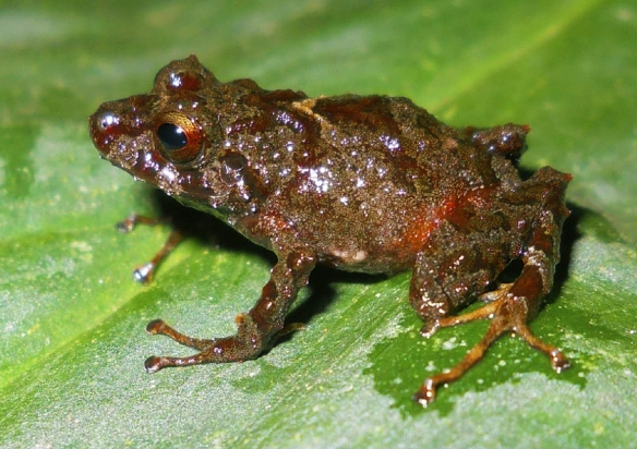 Pristimantis sacharuna. Photo: Mario Yanez.