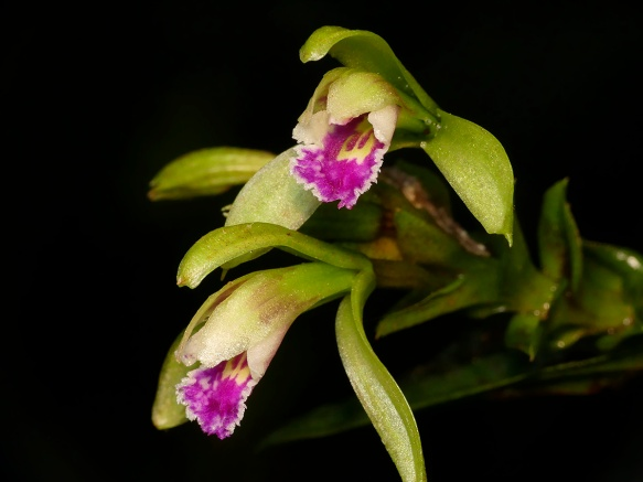 A beautiful Psilochilus species in the Dracula Reserve. Photo: Lou Jost/EcoMinga.