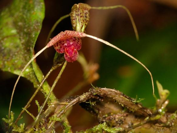 Scaphosepalum cf swertifolium, an orchid. Photo: Lou Jost/EcoMinga.