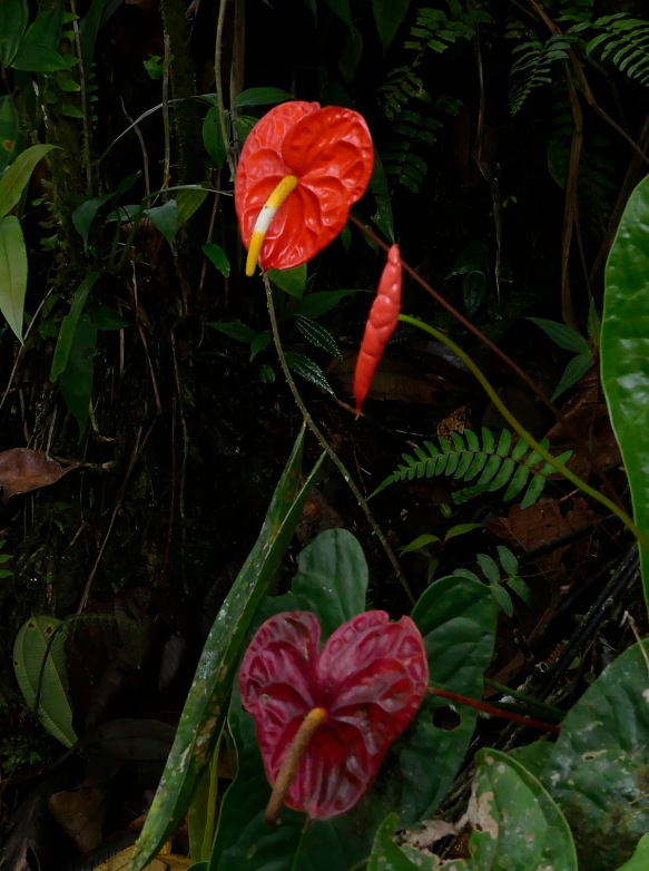 Northwest Ecuador is the home of Anthurium andreanum, the main wild ancestor of all the anthurium hybrids sold today around the world for cut flowers.
