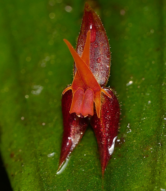 Lepanthes nautica, one of the recently-described Lepanthes species from this area. Photo: Lou Jost/EcoMinga.
