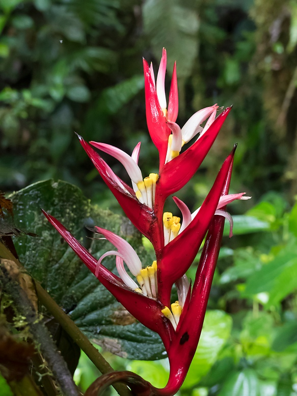 Heliconia species. Photo: Lou Jost/EcoMinga.