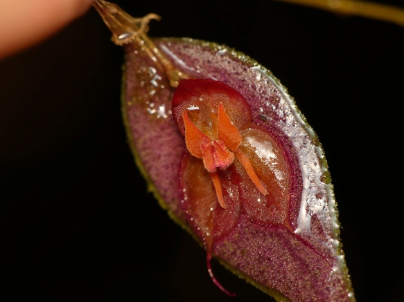 A rain-soaked Lepanthes lycocephala in the Dracula Reserve. Photo: Lou Jost/EcoMinga.