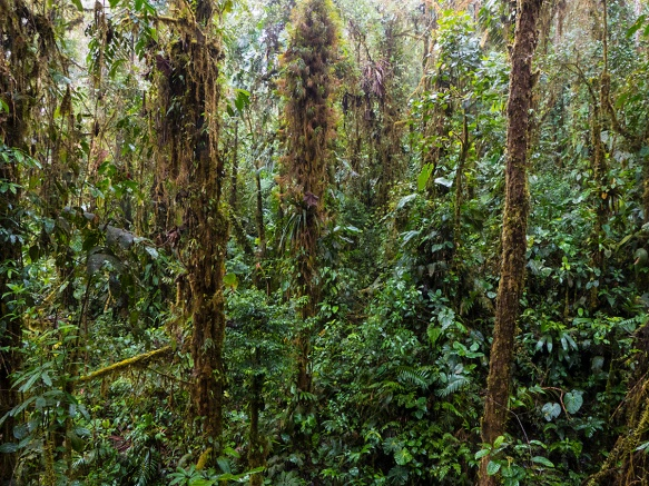 The mossy forest where Dracula trigonopetala and D. terborchii grow. The thick mosslike clumps on the upper tree trunk of the center tree are actually Tillandia bromeliads.