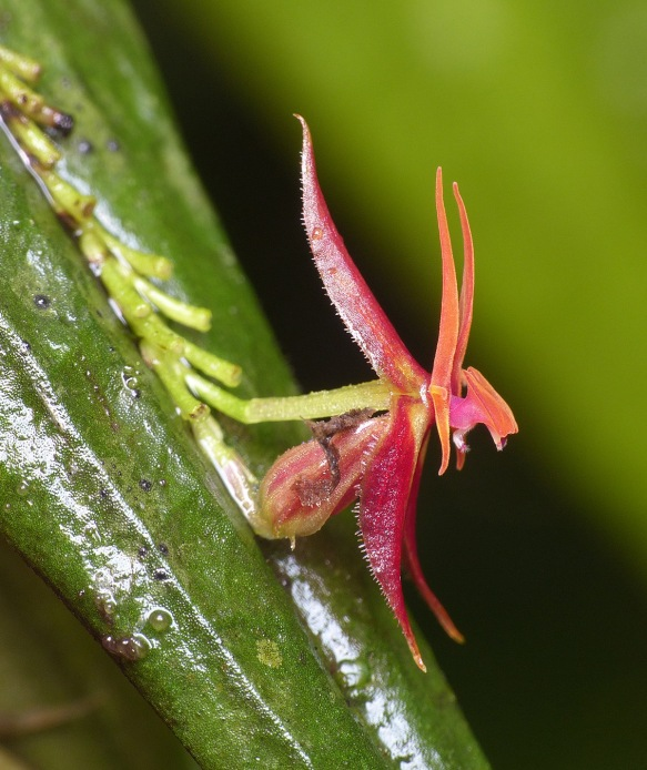 "Click to enlarge. Lepanthes nautica, side view. The white organ hanging under the column is the ""appendix"", which imitates the genitalia of a female fungus gnat. Male gnats mate with the flower, effecting pollination. Photo: Lou Jost/EcoMinga."