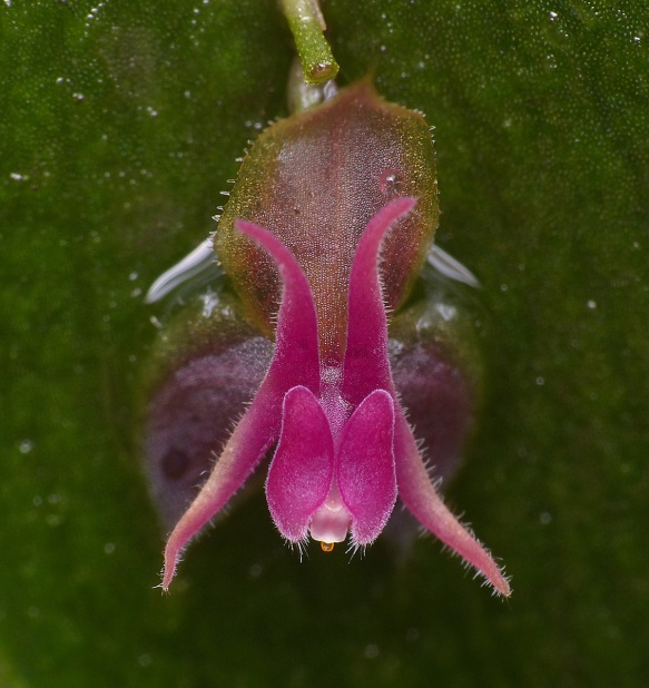 Lepanthes meniscophora in the reserve. Photo: Lou Jost/EcoMinga.