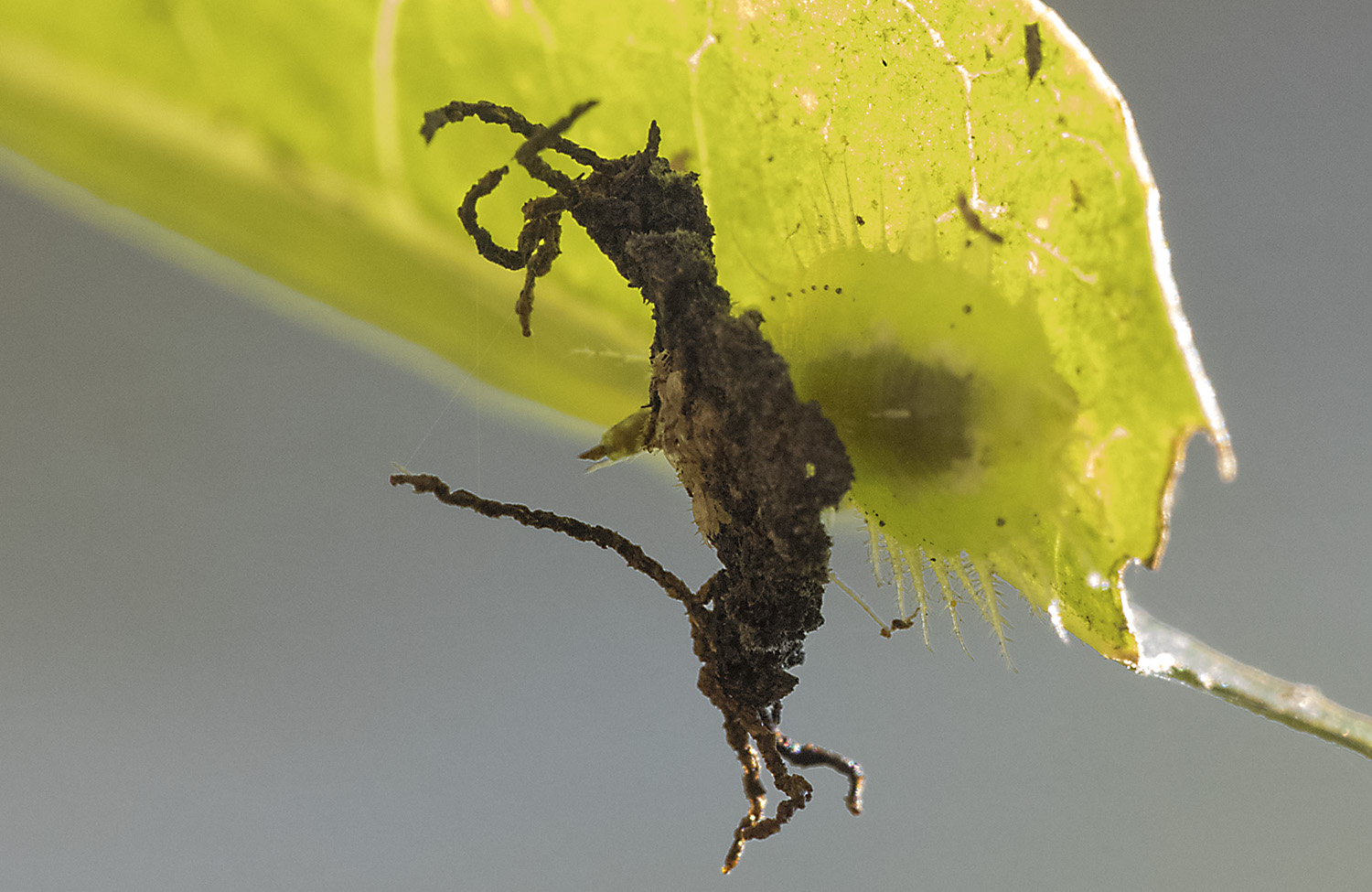 An insect that uses its own feces to build a statue of