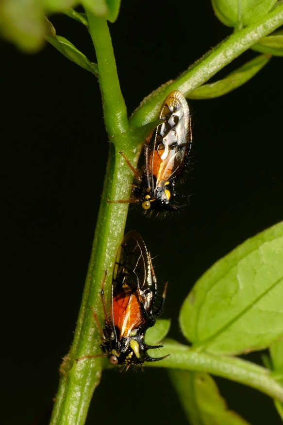 Male and female Cyphona treehoppers on the stem of the endemic tree Zapoteca aculeata.  Photo: Lou Jost/EcoMinga.