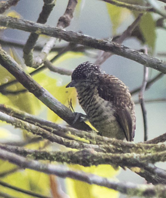 A miniature woodpecker, Lafresnaye's Piculet, just 9 cm long, smaller than some cigarettes! Photo: Lou Jost/EcoMinga.