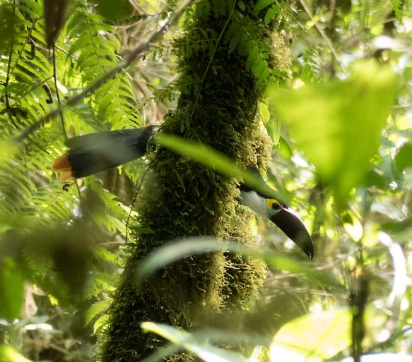 A Black-billed Mountain-Toucan scolds me. Photo: Lou Jost/EcoMinga.