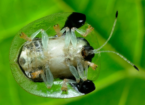 Underside of the beetle. It is clinging to the back of a camera filter. Photo: Lou Jost/EcoMinga.