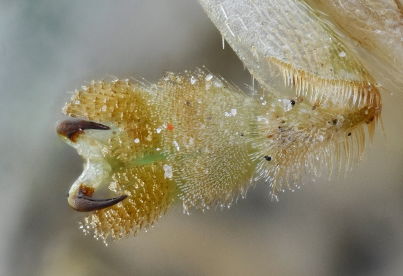 Underside of the beetle's sticky foot. Photo: Lou Jost/EcoMinga.