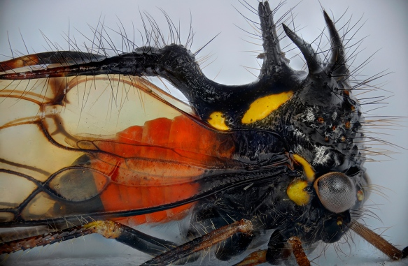 The head and thorax of the treehopper. Composite of hundreds of images. Photo: Lou Jost.