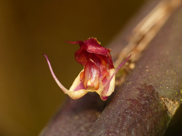 "Lepanthes aprina, endemic to the second line of mountains facing Amazonia in our area, first discovered in what is now our Rio Machay Reserve. The name ""aprina"" means ""tusks"". Photo: Lou Jost/EcoMinga."