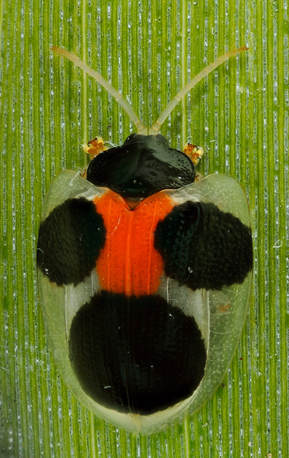 The beetle's back pattern. Note the transparent sections of its shell. Photo: Lou Jost/EcoMinga.