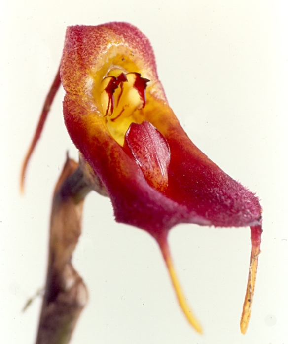 "Masdevallia teagueii, with its lip in the ""ready"" position. Photo: Lou Jost/EcoMinga."
