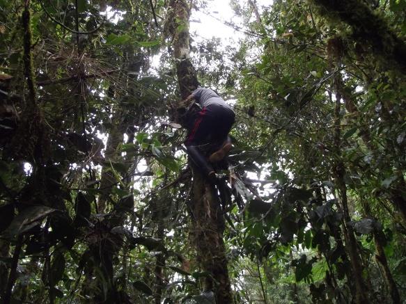 Luis Recalde climbing a tree to get a sample.