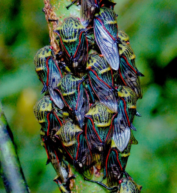 Membracid treehoppers in one of our reserves. Photo: Luis Recalde/EcoMinga.