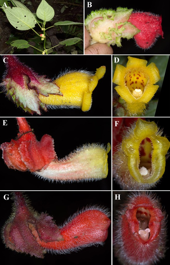 New species of gesneriads from the trip. A, B: Drymonia sp.nov. C-H: Three new species of Glossoloma. Photos: John Clark.