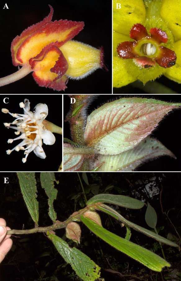 Rare plants from the trip. A, B: Drymonia ignea. C: Unidentified Prunus species. D, E: Columnea bivalvis. Photos: John Clark.
