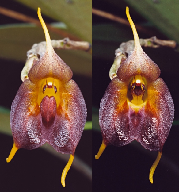 "Masdevallia teagueii. Left: Lip in ""ready"" position. Right: Lip in triggered position. Photo: Lou Jost/EcoMinga."