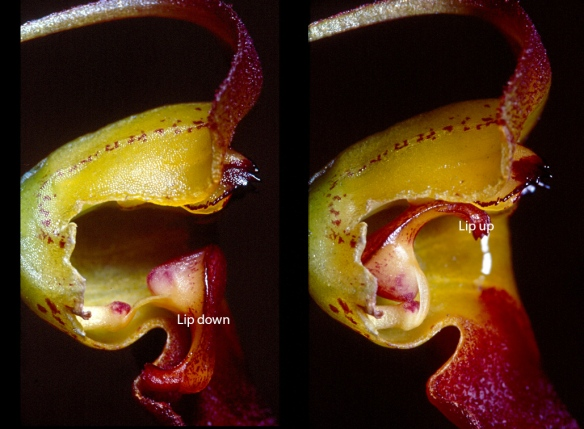 "Masdevallia teagueii. Left: lip in ""ready"" position. Right: Lip triggered. Photo: Lou Jost/EcoMinga."