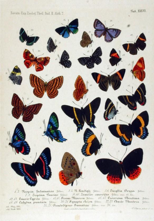 Riodinid butterflies also manipulate ants for defense. Reise der Österreichischen Fregatte Novara um die Erde in den Jahren 1857, 1858, 1859 unter den Befehlen des Commodore B. von Wüllerstorf-Urbair. (1864) Zoologischer Theil. 2. Band. Zweite Abteilung: Lepidoptera. Tafel XXXVI. Riodinidae  Image: Creative Commons.