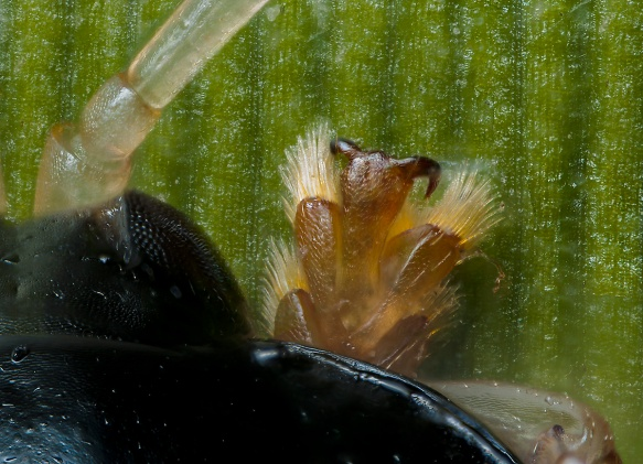 A closer look at this chrysomelid beetle's elaborate feet.